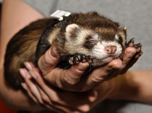 Ferret in a hand Royalty Free Stock Photography