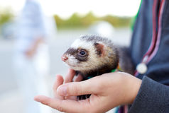 Ferret in the hand Stock Photo