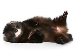Ferret has a rest on a white background Stock Photography