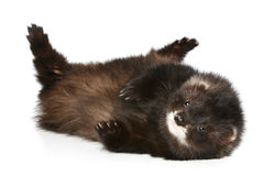 Ferret has a rest on a white background Stock Image