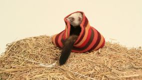 Ferret In A Hat stock video footage