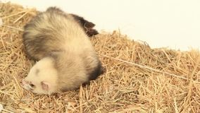 Ferret On A Haystack. Slow Motion stock video