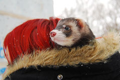 Ferret in a hood Royalty Free Stock Photo