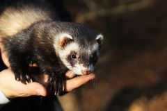 ferret on a human hands stock images