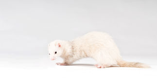 Ferret isolated Stock Photo