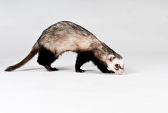 Ferret isolated Royalty Free Stock Photo