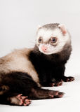 Ferret isolated Royalty Free Stock Images