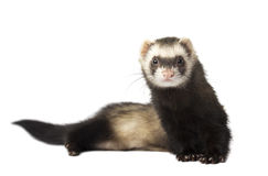 Ferret Stock Images