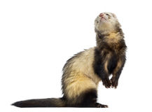 Ferret isolated on white Stock Photos