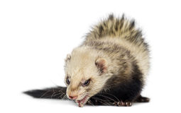 Ferret isolated on white Stock Images