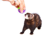 Ferret kit and toy Stock Photos