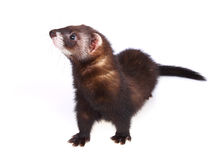 Ferret kit Royalty Free Stock Image
