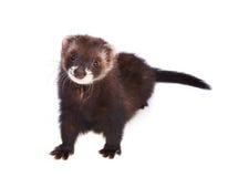 Ferret kit Royalty Free Stock Photography