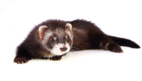 Ferret kit. Two months old ferret kit, isolated on white royalty free stock photography