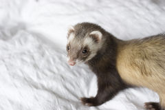 Ferret: Latte. Female cinnamon colored brown sable ferret standing on a white bedspread. Daylight stock images