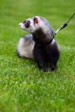 Ferret on a leash Royalty Free Stock Images