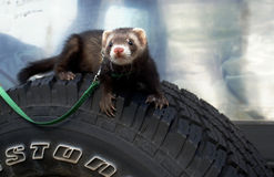 Ferret on leash Royalty Free Stock Images
