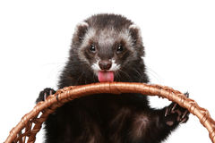 Ferret licks basket Stock Image