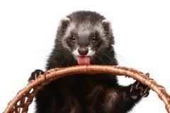 Ferret licks basket Stock Image