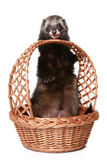 Ferret licks basket Stock Images