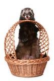Ferret licks basket Stock Images