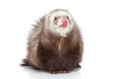 Ferret licks on a white background Stock Photography