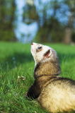 Ferret look. Ferret on green meadow Stock Photo