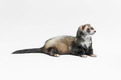 Ferret Lying Royalty Free Stock Photo