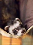 Ferret lying on its hammock. Cute ferret lying on its hammock, looking to camera Royalty Free Stock Images