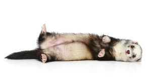Ferret lying on a white background Stock Photography