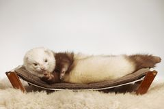 Ferret male of other pattern laying on coach in studio stock images