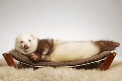 Ferret male of other pattern laying on coach in studio stock photos