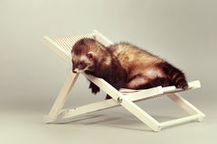 Ferret male portrait on beach chair in studio. Ferret portrait on beach chair in studio Stock Photography