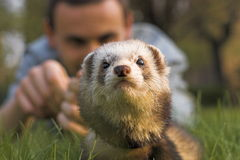 Ferret and man. Watching black-foot ferret Royalty Free Stock Photos