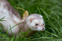 Ferret. With muddy nose in green grass Royalty Free Stock Photos