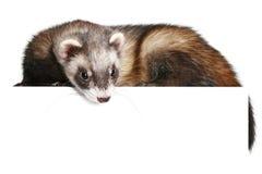 Ferret (Mustela putorius furo) Royalty Free Stock Image