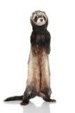 Ferret (Mustela putorius furo) Royalty Free Stock Photo