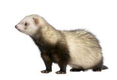 Ferret - Mustela putorius furo Royalty Free Stock Images
