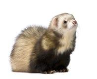 Ferret - Mustela putorius furo Stock Image