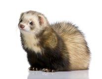 Ferret - Mustela putorius furo Royalty Free Stock Photo