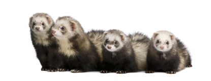 Ferret - Mustela putorius furo Royalty Free Stock Photography