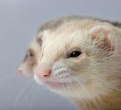 Ferret - Mustela putorius furo Stock Photo