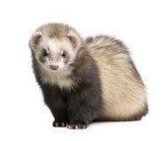 Ferret - Mustela putorius furo Stock Images