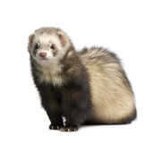 Ferret - Mustela putorius furo Stock Photo