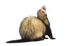 Ferret - Mustela putorius furo Stock Photography