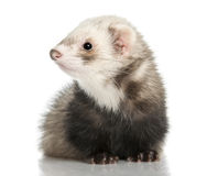 Ferret - Mustela putorius furo (8months old) Royalty Free Stock Photo