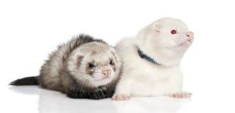 Ferret - Mustela putorius furo Royalty Free Stock Image