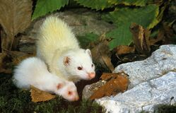 Free FERRET Mustela Putorius Furo, FEMALE WITH YOUNG Royalty Free Stock Images - 194416919