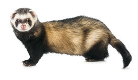 Ferret Stock Photo