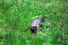 Ferret, Mustela putorius Royalty Free Stock Image